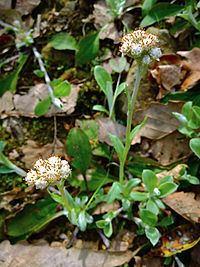 Antennaria plantaginifolia Antennaria plantaginifolia Wikipedia