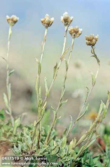 Antennaria umbrinella httpswwwpnwflowerscomimagesplants0417510jpg
