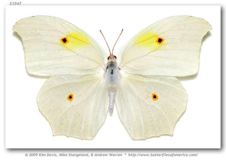 Anteos clorinde butterfliesofamericacomimagesPieridaeColiadina