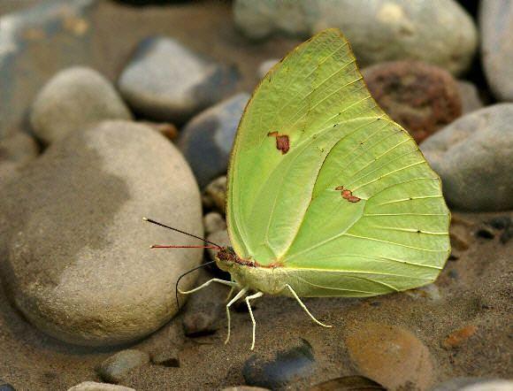 Anteos menippe wwwlearnaboutbutterfliescomAnteos20menippe200