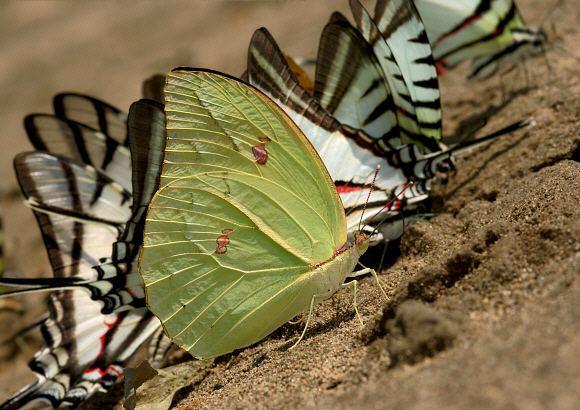 Anteos menippe Butterflies of Amazonia Anteos menippe
