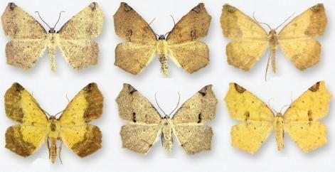 Antepione thisoaria