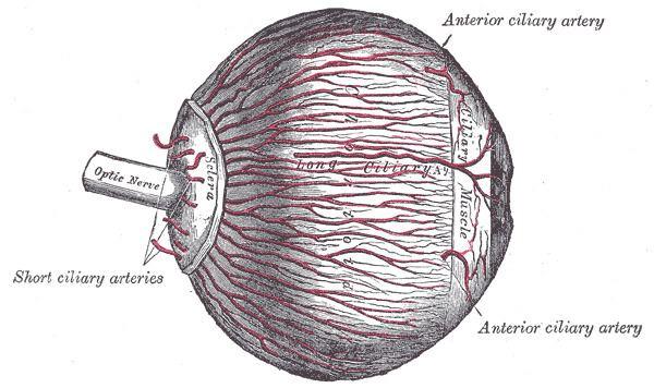 Anterior ciliary arteries