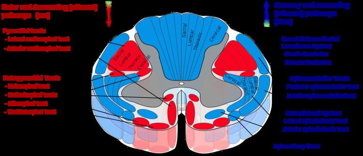 Anterior corticospinal tract
