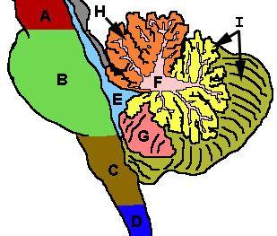 Anterior lobe of cerebellum