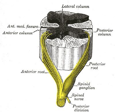 Anterior median fissure of spinal cord