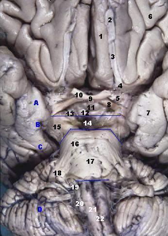 Anterior olfactory nucleus