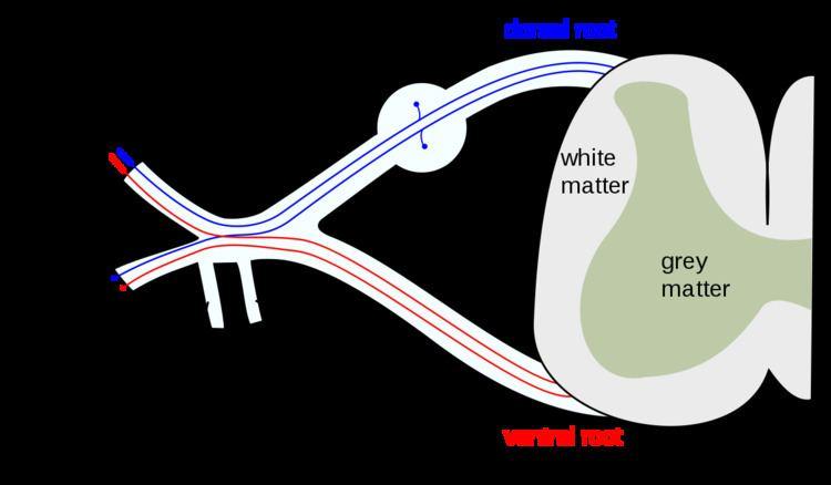 Anterior ramus of spinal nerve
