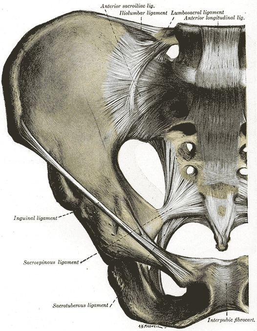 Anterior sacrococcygeal ligament