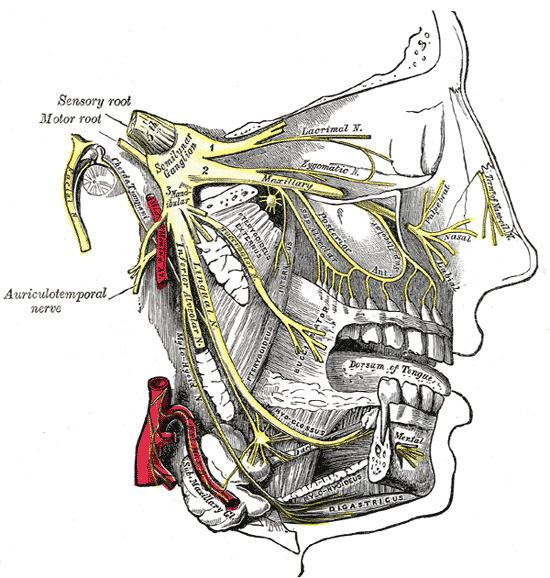Anterior superior alveolar nerve