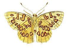 Anteros (butterfly) httpsuploadwikimediaorgwikipediacommonsthu