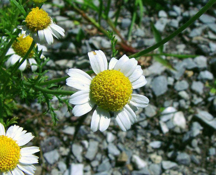 Anthemis Anthemis cotula stinking chamomile Go Botany