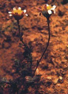Anthemis glaberrima httpsuploadwikimediaorgwikipediacommonsthu