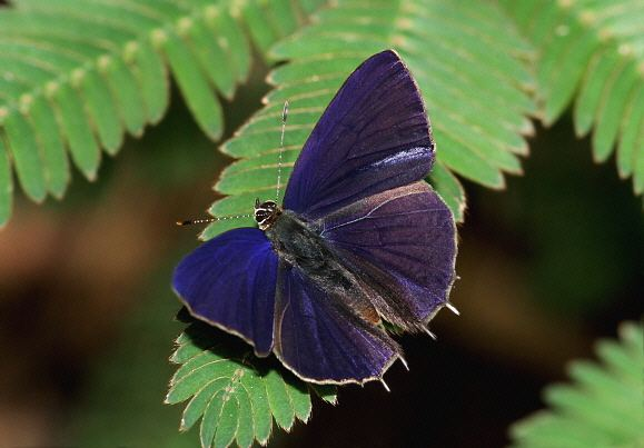 Anthene Butterflies of Africa Anthene larydas