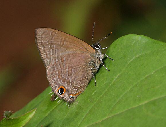Anthene wwwlearnaboutbutterfliescomAnthene20rubrocinct