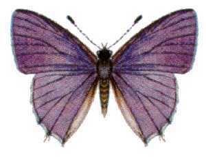 Anthene lycaenoides