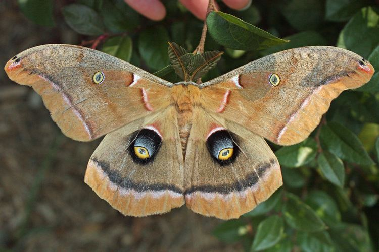 Antheraea polyphemus - Alchetron, The Free Social Encyclopedia