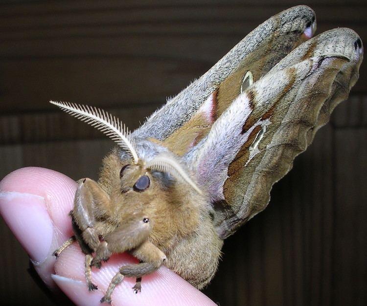 Antheraea polyphemus FilePolyphemus Moth Antheraea polyphemus 5jpg Wikimedia Commons