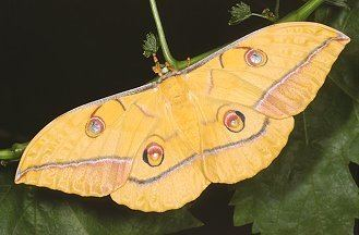 Antheraea yamamai Moths and Butterflies of Europe and North Africa