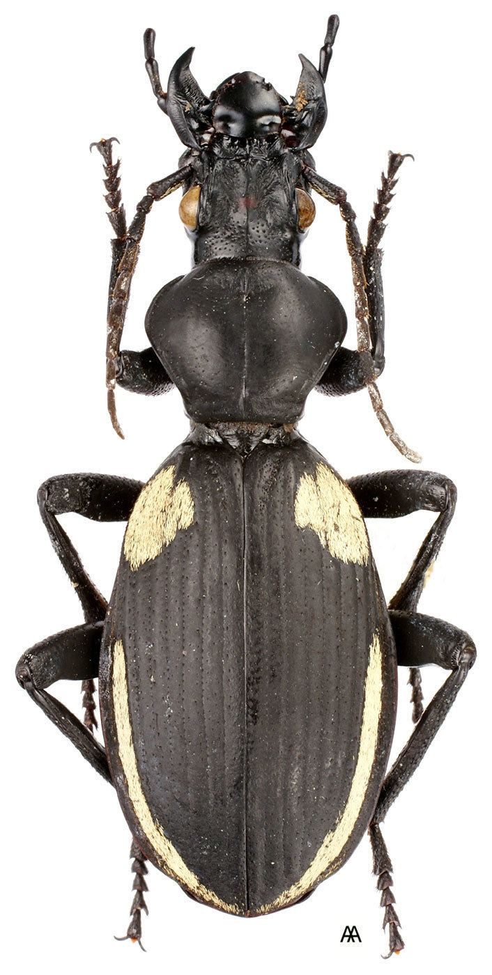 Anthia Genus Anthia Weber 1801 Carabidae