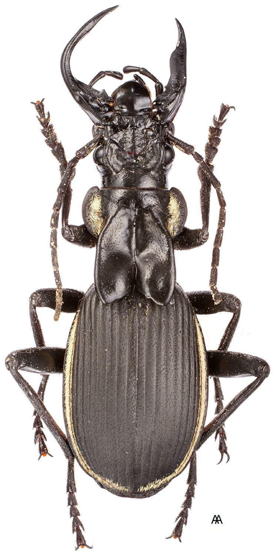 Anthia Subgenus Anthia Weber 1801 Carabidae