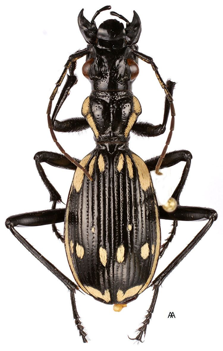 Anthia carabidaeorgcarabidaeAnthia20Termophilum20sex