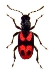 Anthicinae