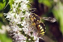 Anthidium punctatum httpsuploadwikimediaorgwikipediacommonsthu