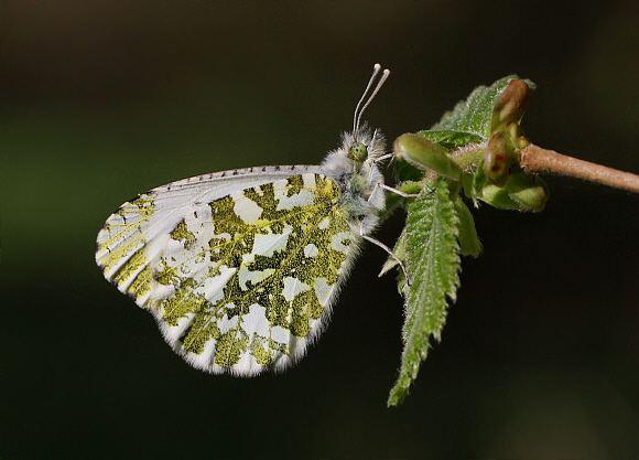 Anthocharis cardamines Butterflies of Europe Anthocharis cardamines