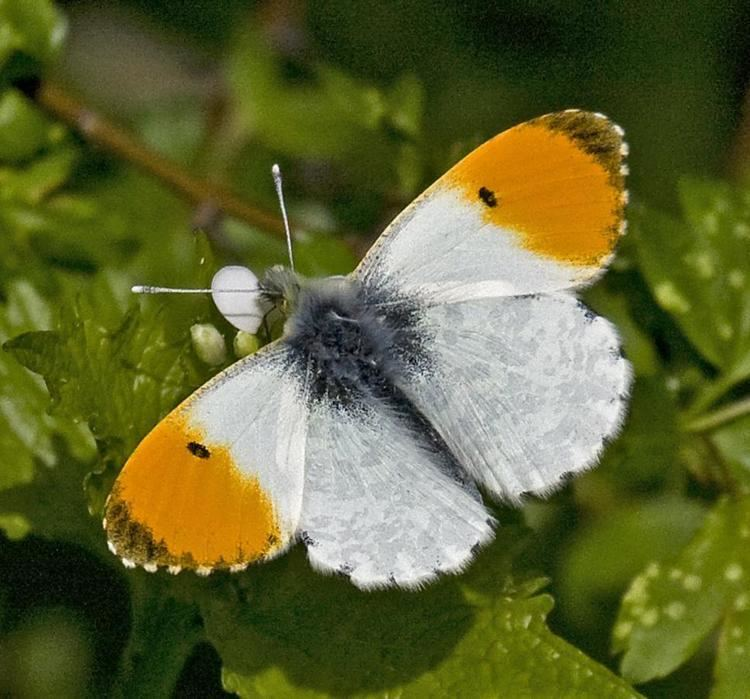 Anthocharis cardamines Orange Tip Anthocharis cardamines NatureSpot