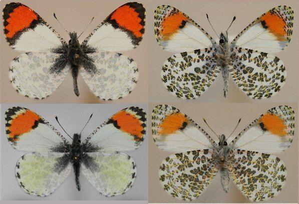 Anthocharis sara Anthocharis sara Raising ButterfliesHow to find and care for