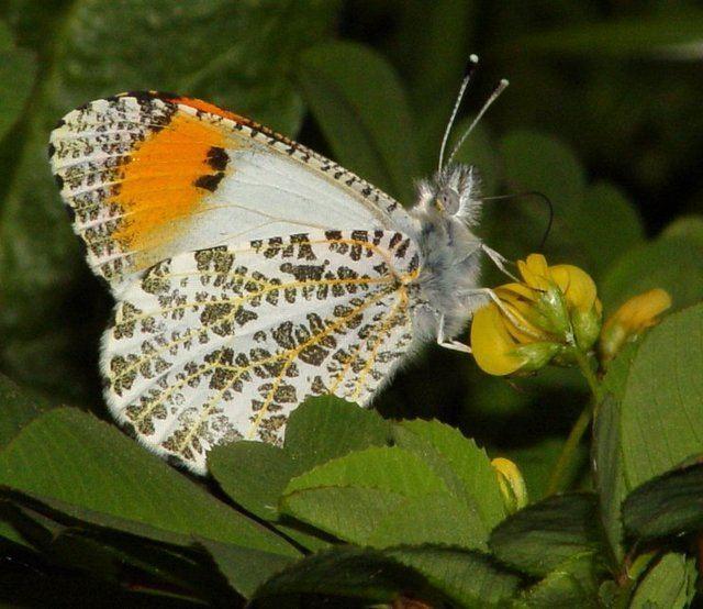 Anthocharis sara Anthocharis sara sara Art Shapiro39s Butterfly Site