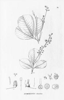 Anthodiscus httpsuploadwikimediaorgwikipediacommonsthu