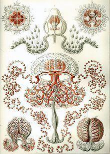 Anthomedusae httpsuploadwikimediaorgwikipediacommonsthu