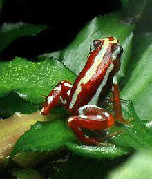 Anthony's poison arrow frog httpsuploadwikimediaorgwikipediacommonsthu