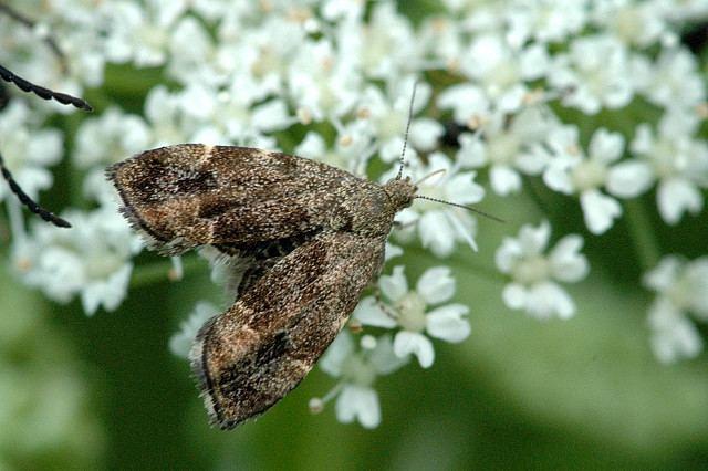 Anthophila (moth)