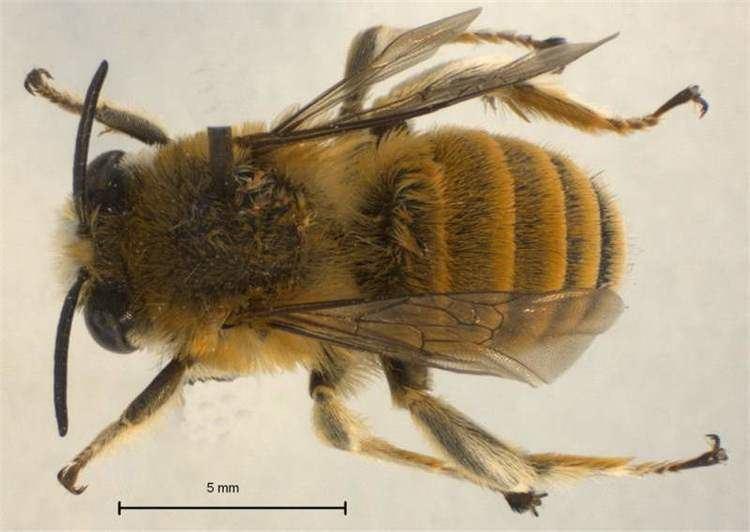 Anthophora Factsheet Anthophora bees