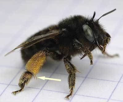 Anthophora Anthophora retusa Linnaeus1758 BWARS