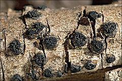 Anthostoma httpsuploadwikimediaorgwikipediacommonsthu