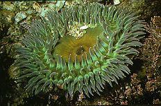 Anthozoa httpsuploadwikimediaorgwikipediacommonsaa