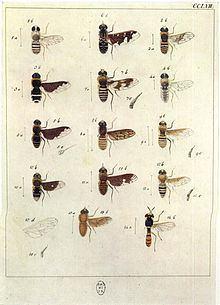 Anthrax (fly) httpsuploadwikimediaorgwikipediacommonsthu