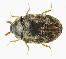 Anthrenocerus australis httpsuploadwikimediaorgwikipediacommonsthu