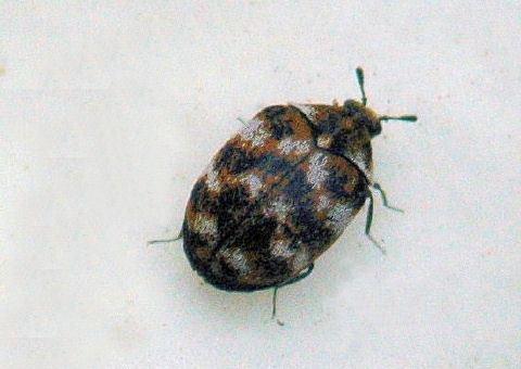 Anthrenus Varied Carpet Beetle Anthrenus verbasci