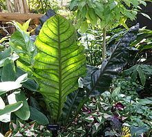 Anthurium superbum httpsuploadwikimediaorgwikipediacommonsthu