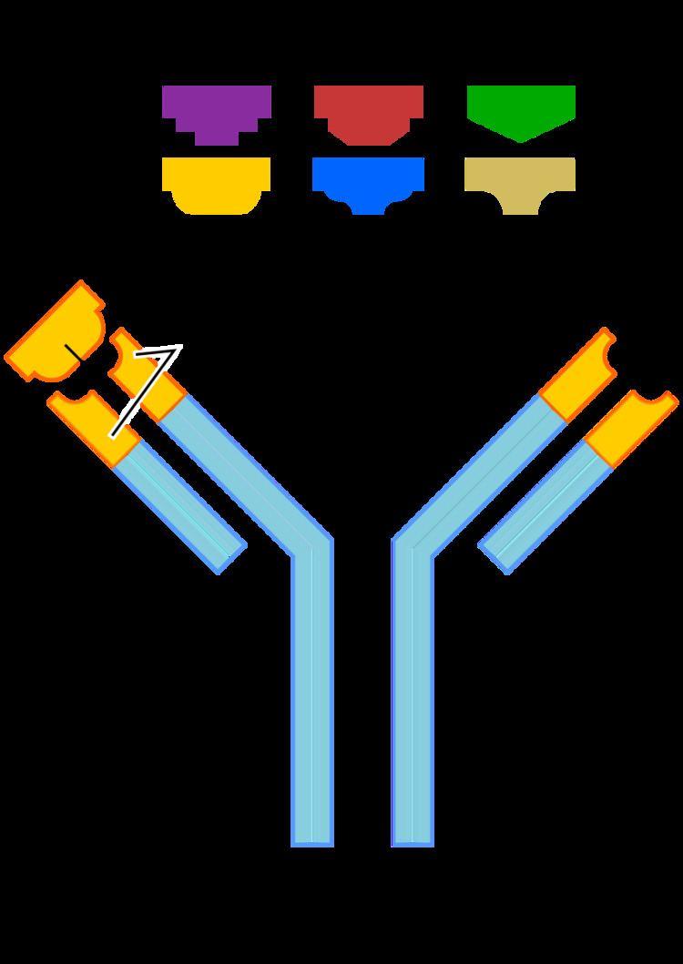 Anti-actin antibodies
