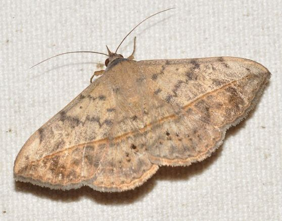 Anticarsia Velvetbean caterpillar moth Anticarsia gemmatalis BugGuideNet