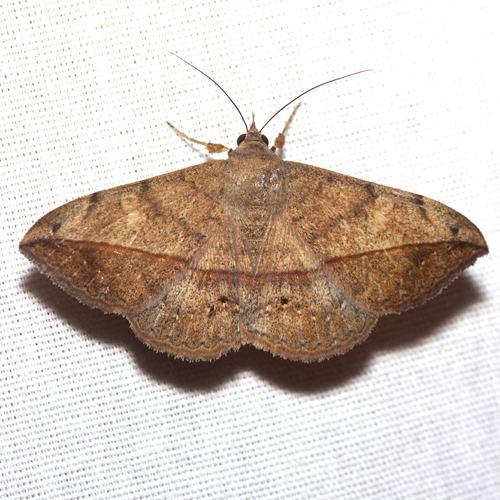 Anticarsia Velvetbean Caterpillar Moth Hodges 8574 Anticarsia gemmatalis