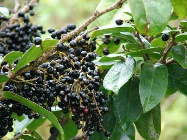 Antidesma Flora of North America Genus Antidesma