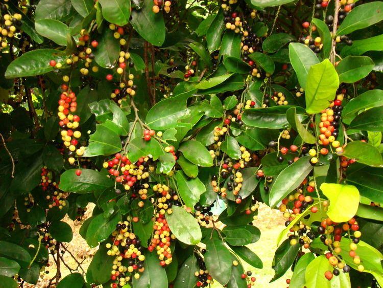 Antidesma bunius Antidesma bunius Images Useful Tropical Plants