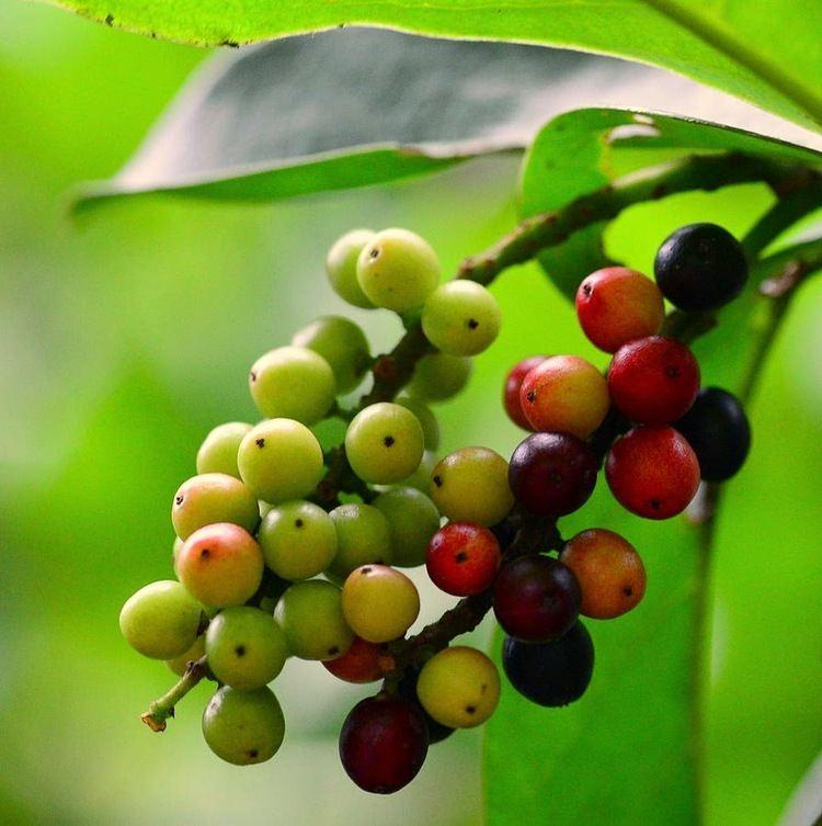 Antidesma bunius Benefits Antidesma bunius fruit bignay bugnay bignai wild